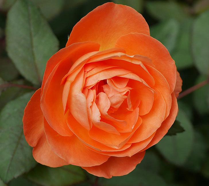 レディ・エマ・ハミルトン(木立バラ)の2番花が咲いた。2018年-2.jpg