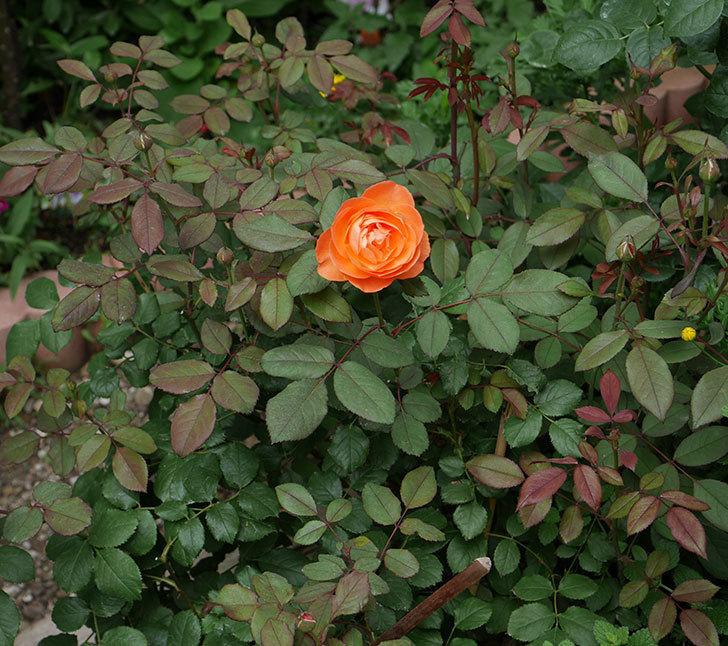 レディ・エマ・ハミルトン(木立バラ)の2番花が咲いた。2018年-3.jpg
