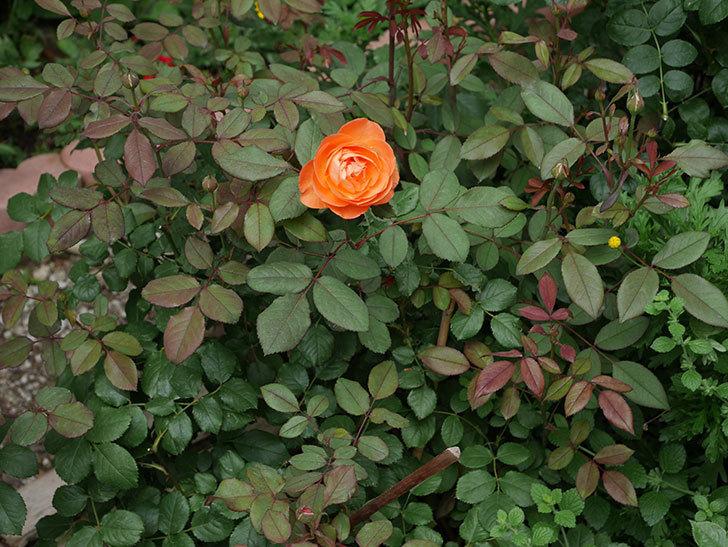 レディ・エマ・ハミルトン(木立バラ)の2番花が咲いた。2018年-4.jpg