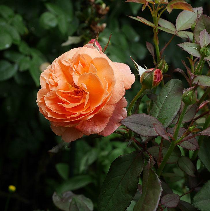 レディ・エマ・ハミルトン(木立バラ)の2番花が咲いた。2019年-1.jpg