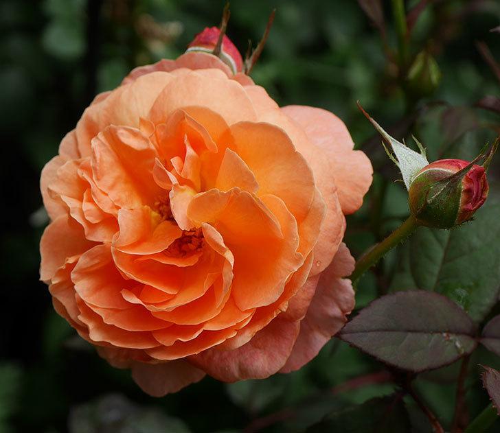 レディ・エマ・ハミルトン(木立バラ)の2番花が咲いた。2019年-2.jpg