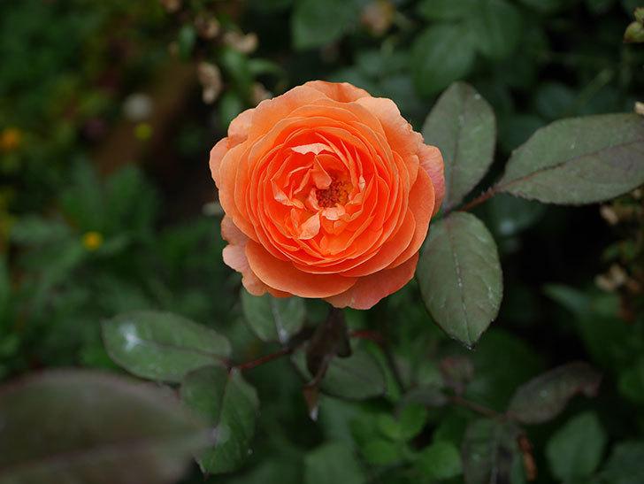 レディ・エマ・ハミルトン(木立バラ)の2番花が咲いた。2019年-4.jpg