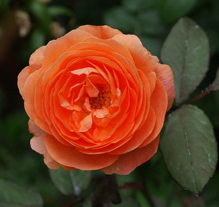 レディ・エマ・ハミルトン(木立バラ)の2番花が咲いた。2019年-5.jpg