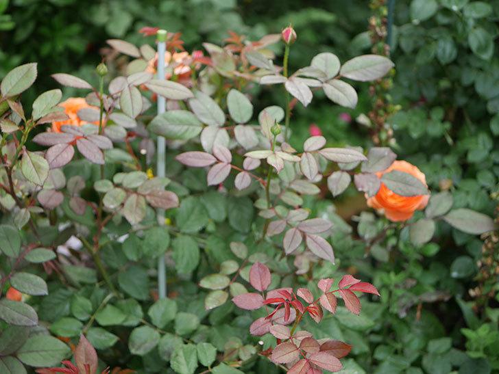 レディ・エマ・ハミルトン(木立バラ)の2番花が咲いた。2019年-6.jpg