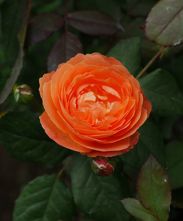 レディ・エマ・ハミルトン(木立バラ)の2番花が咲いた。2019年-7.jpg