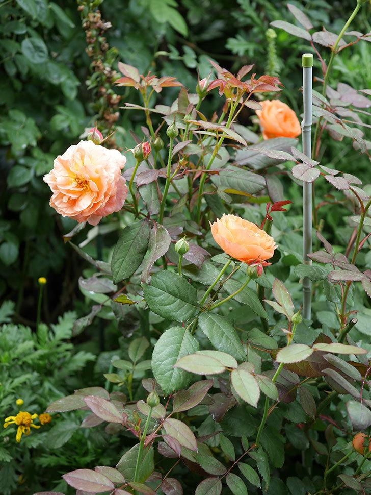 レディ・エマ・ハミルトン(木立バラ)の2番花が咲いた。2019年-8.jpg