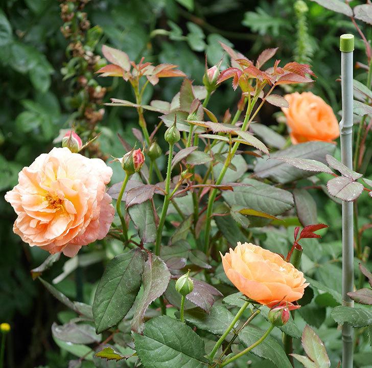 レディ・エマ・ハミルトン(木立バラ)の2番花が咲いた。2019年-9.jpg