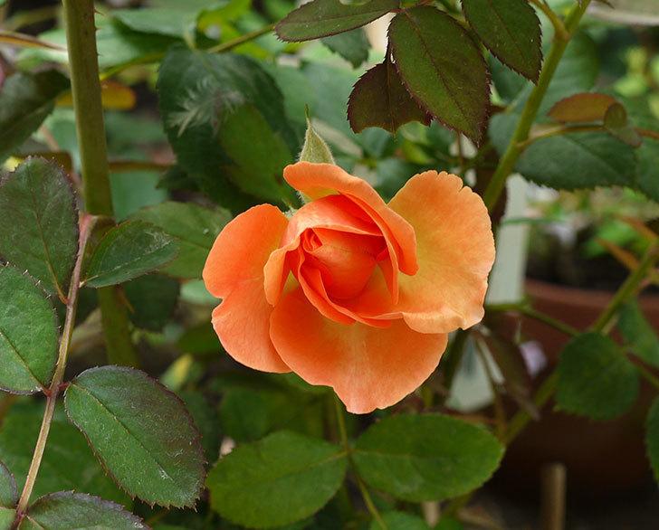 レディ・エマ・ハミルトン(木立バラ)の3番花が咲いた。2016年-1.jpg