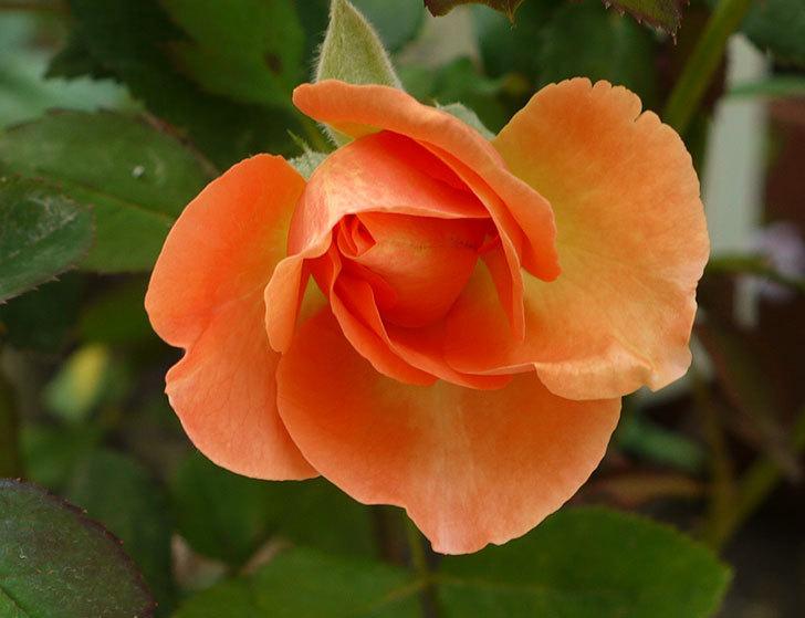 レディ・エマ・ハミルトン(木立バラ)の3番花が咲いた。2016年-2.jpg