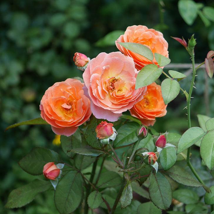 レディ・エマ・ハミルトン(木立バラ)の3番花が咲いた。2018年-1.jpg