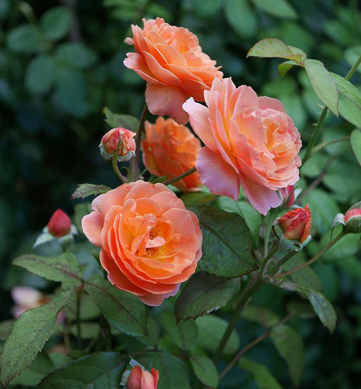 レディ・エマ・ハミルトン(木立バラ)の3番花が咲いた。2018年-2.jpg