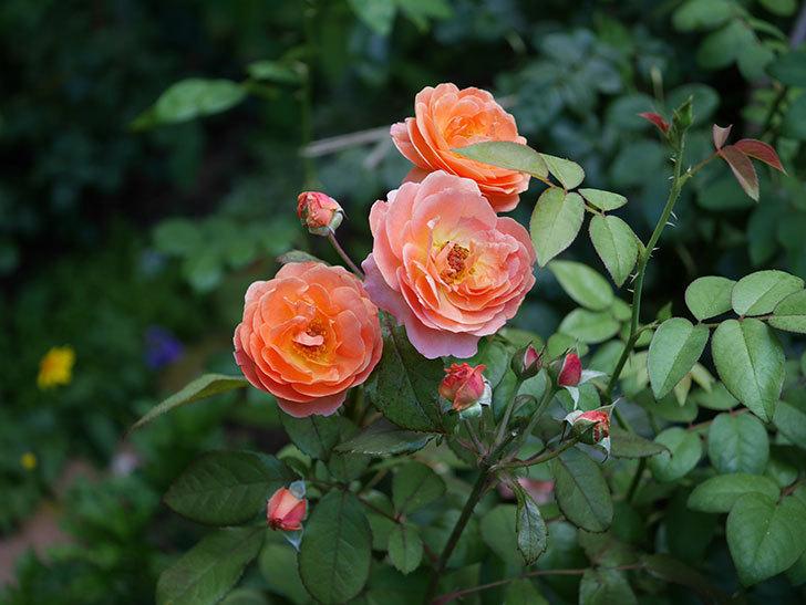 レディ・エマ・ハミルトン(木立バラ)の3番花が咲いた。2018年-3.jpg