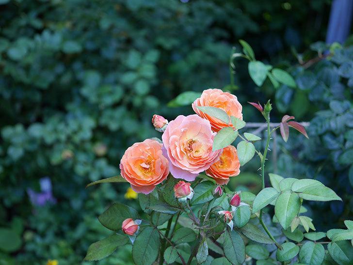レディ・エマ・ハミルトン(木立バラ)の3番花が咲いた。2018年-4.jpg