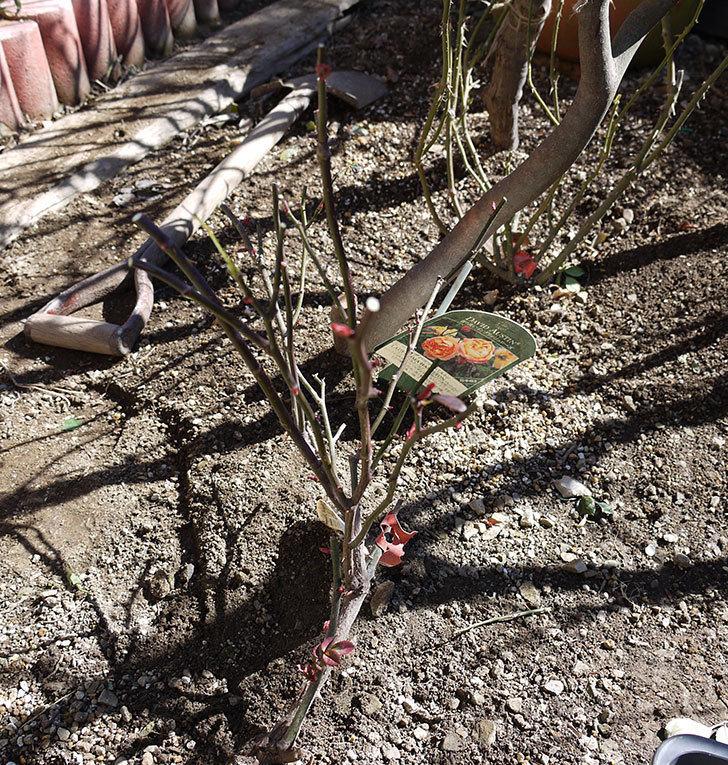 レディ・エマ・ハミルトン(木立バラ)の冬剪定をした。2017年-1.jpg