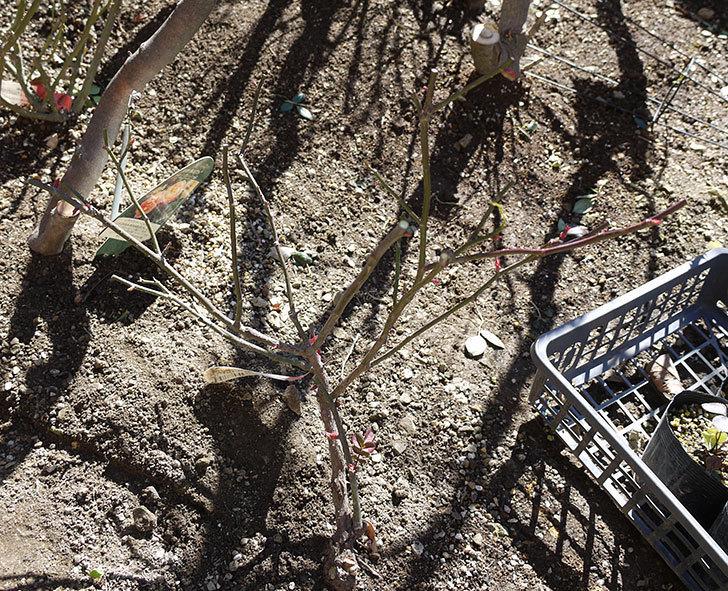 レディ・エマ・ハミルトン(木立バラ)の冬剪定をした。2017年-6.jpg