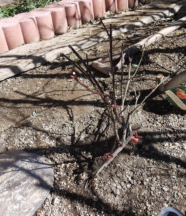 レディ・エマ・ハミルトン(木立バラ)の冬剪定をした。2017年-7.jpg