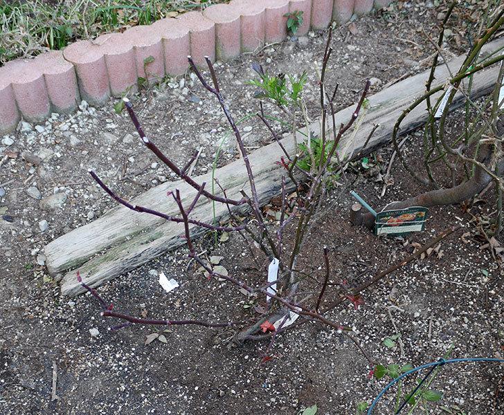 レディ・エマ・ハミルトン(木立バラ)の冬剪定をした。2018年-1.jpg