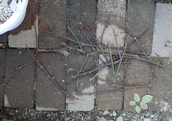 レディ・エマ・ハミルトン(木立バラ)の冬剪定をした。2018年-5.jpg