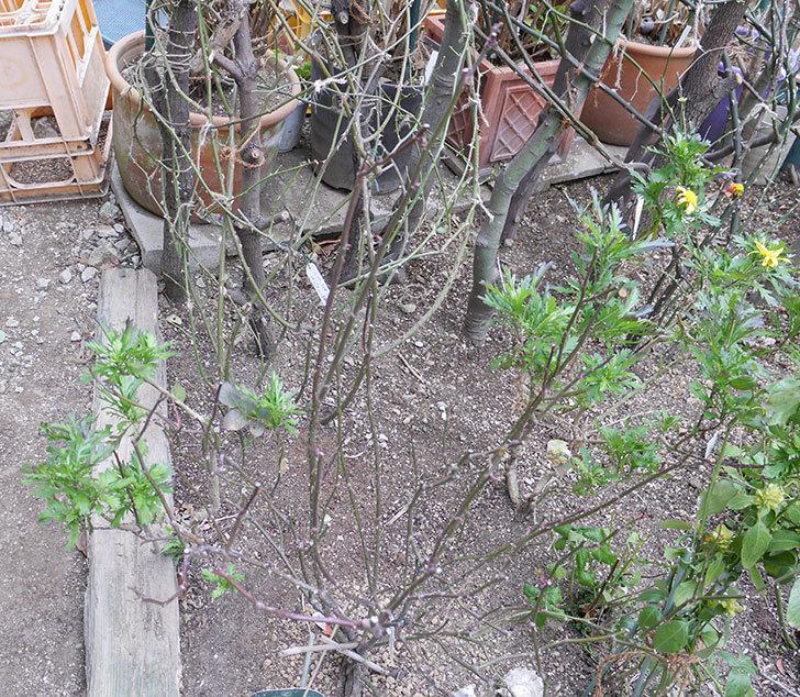 レディ・エマ・ハミルトン(木立バラ)の冬剪定をした。2019年-4.jpg