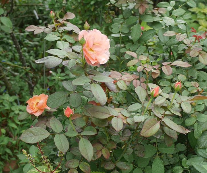 レディ・エマ・ハミルトン(木立バラ)の夏花が咲いた。2019年-1.jpg