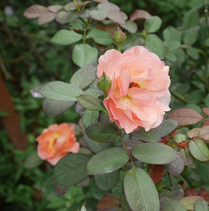 レディ・エマ・ハミルトン(木立バラ)の夏花が咲いた。2019年-2.jpg