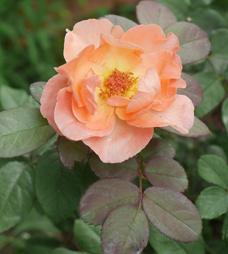 レディ・エマ・ハミルトン(木立バラ)の夏花が咲いた。2019年-3.jpg