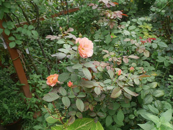 レディ・エマ・ハミルトン(木立バラ)の夏花が咲いた。2019年-4.jpg