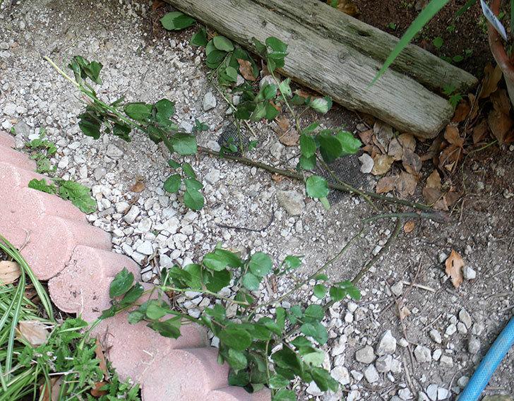 レディ・エマ・ハミルトン(木立バラ)の枝が風で折れてしおれた。2018年-1.jpg