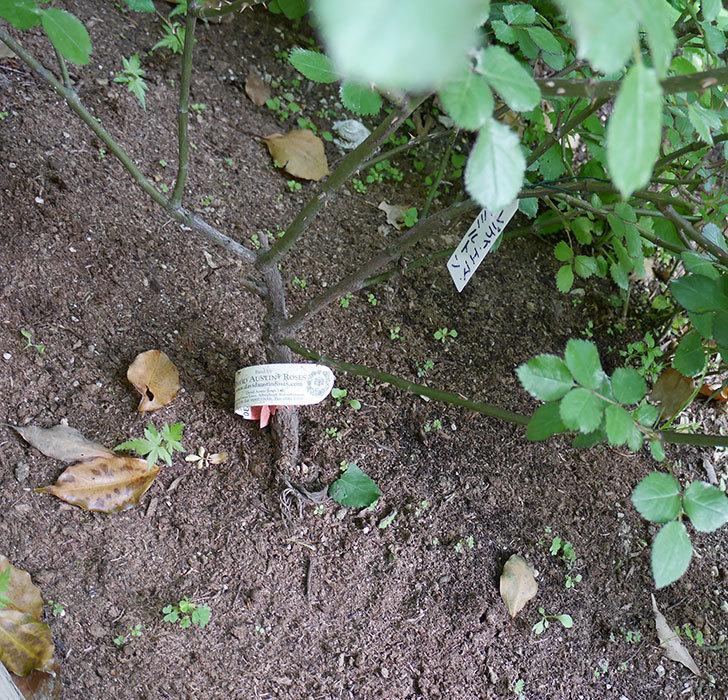 レディ・エマ・ハミルトン(木立バラ)の枝が風で折れてしおれた。2018年-4.jpg
