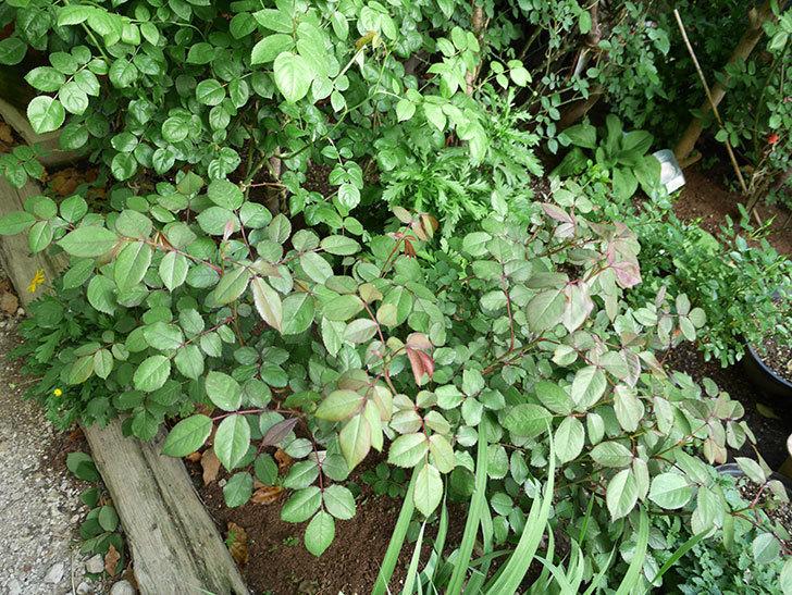 レディ・エマ・ハミルトン(木立バラ)の枝が風で折れてしおれた。2018年-5.jpg