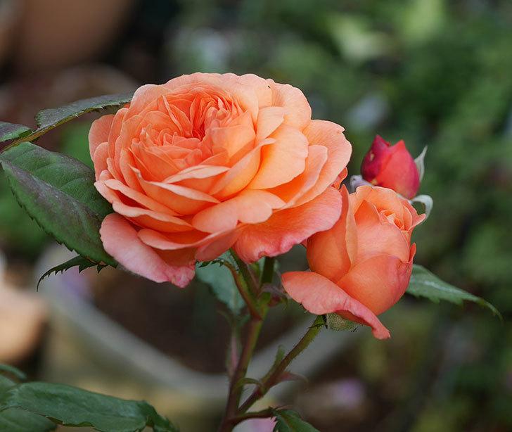 レディ・エマ・ハミルトン(木立バラ)の残っていた花が咲いた。2019年-1.jpg