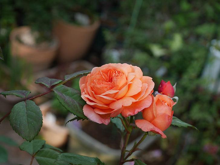 レディ・エマ・ハミルトン(木立バラ)の残っていた花が咲いた。2019年-3.jpg