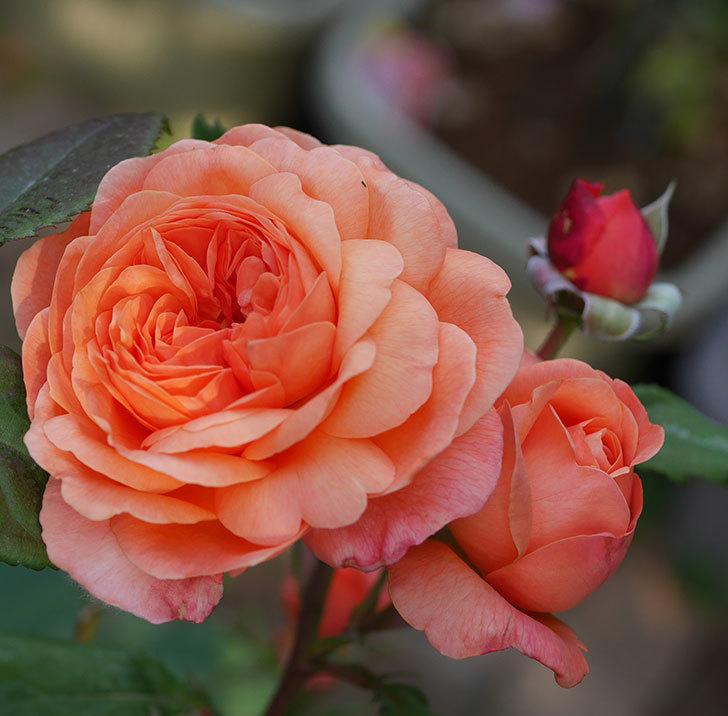 レディ・エマ・ハミルトン(木立バラ)の残っていた花が咲いた。2019年-4.jpg