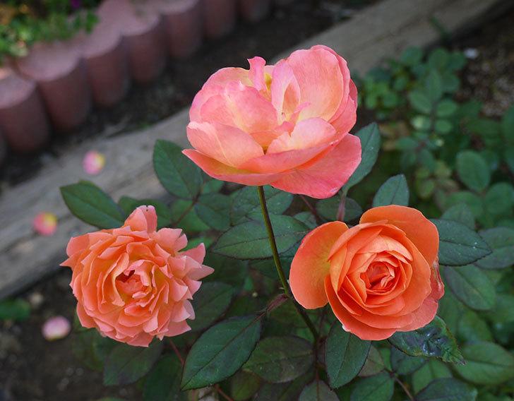 レディ・エマ・ハミルトン(木立バラ)の秋花がかなりいい。2016年-1.jpg