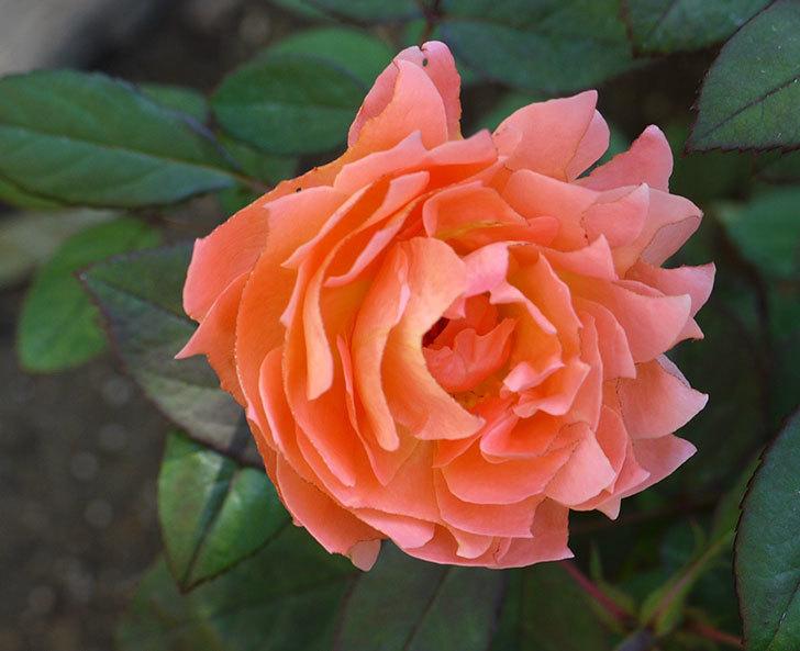 レディ・エマ・ハミルトン(木立バラ)の秋花がかなりいい。2016年-3.jpg