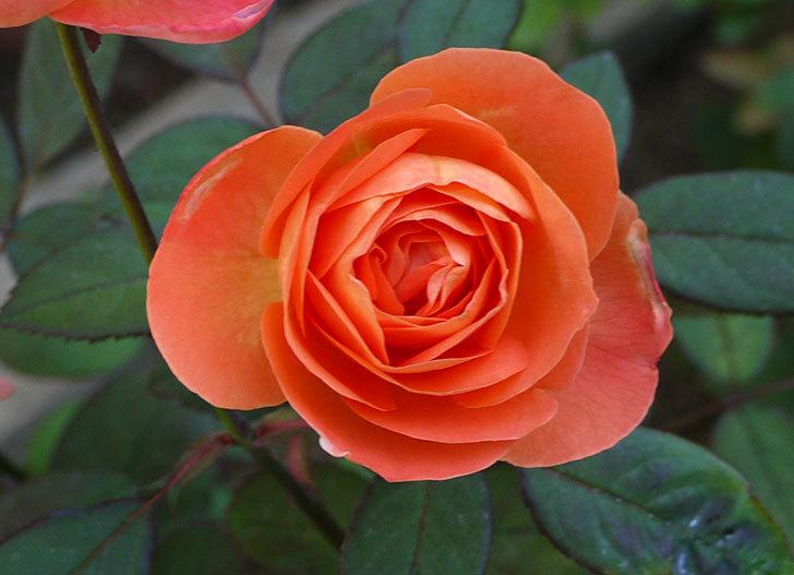 レディ・エマ・ハミルトン(木立バラ)の秋花がかなりいい。2016年-5.jpg
