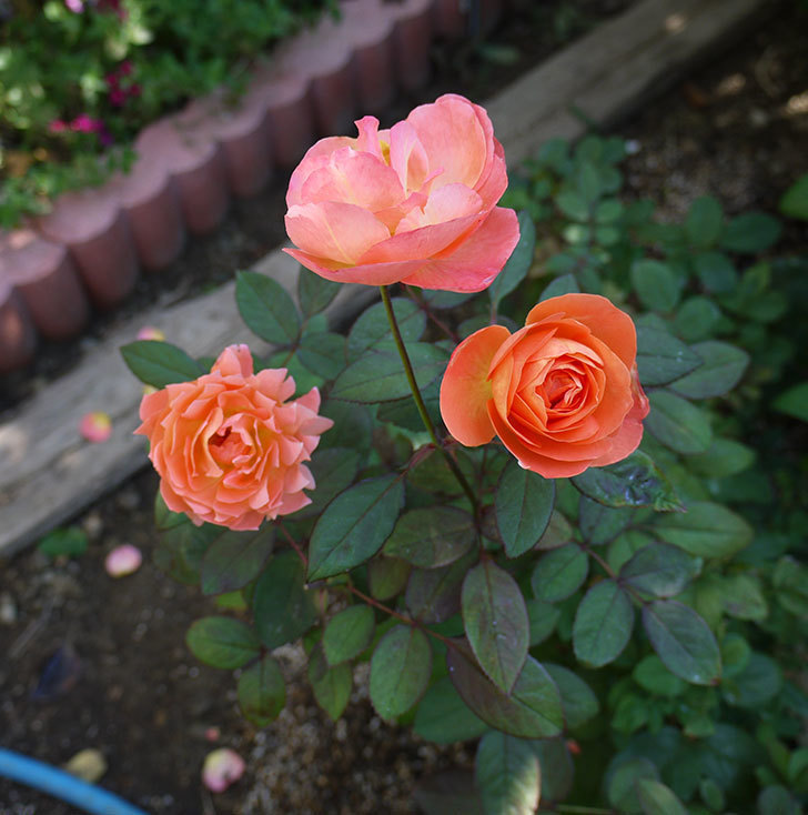 レディ・エマ・ハミルトン(木立バラ)の秋花がかなりいい。2016年-6.jpg