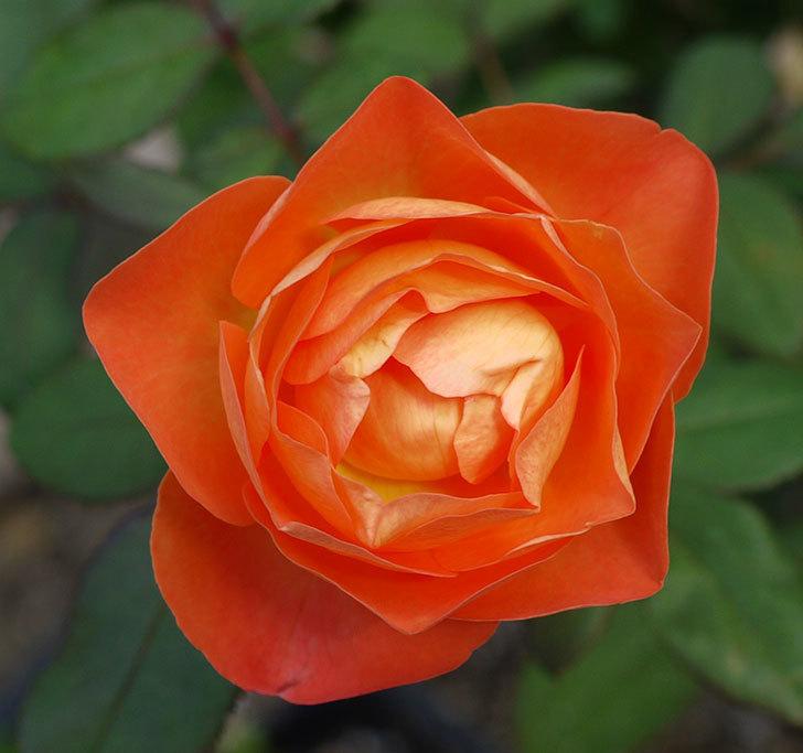 レディ・エマ・ハミルトン(木立バラ)の秋花がまた咲いた。2016年-2.jpg