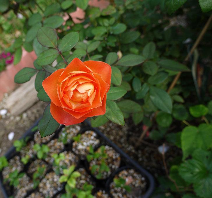 レディ・エマ・ハミルトン(木立バラ)の秋花がまた咲いた。2016年-3.jpg