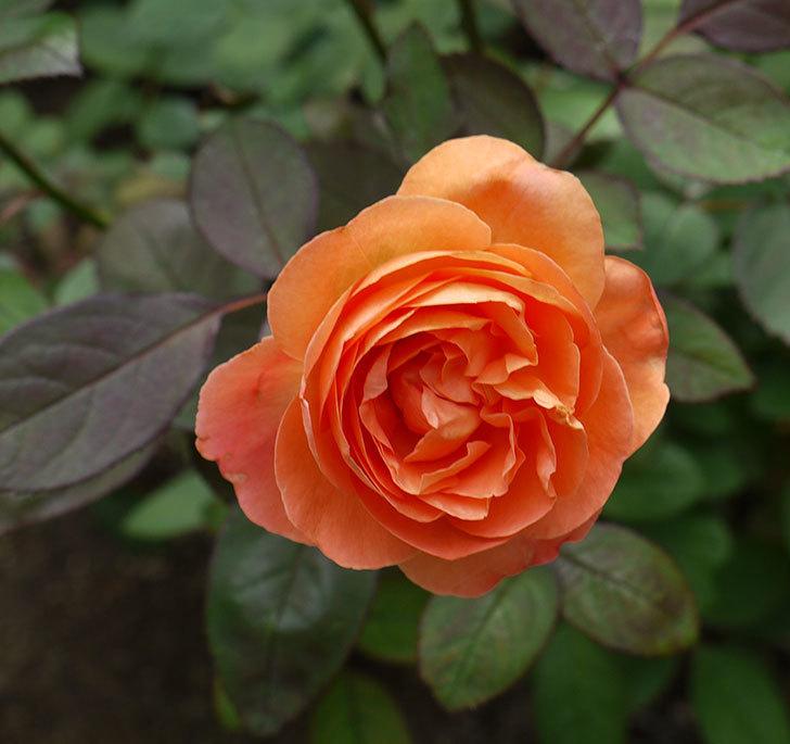 レディ・エマ・ハミルトン(木立バラ)の秋花が咲いた。2016年-1.jpg