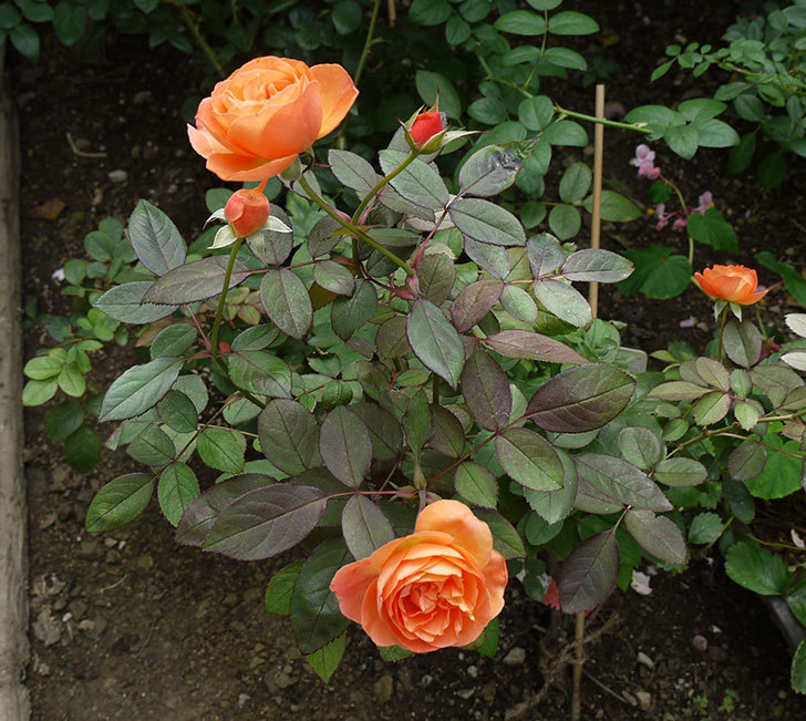 レディ・エマ・ハミルトン(木立バラ)の秋花が咲いた。2016年-2.jpg