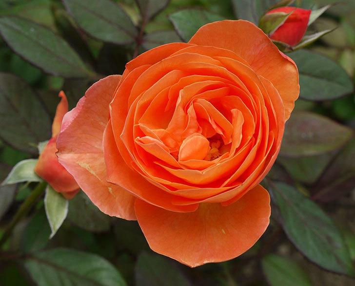 レディ・エマ・ハミルトン(木立バラ)の秋花が咲いた。2016年-3.jpg