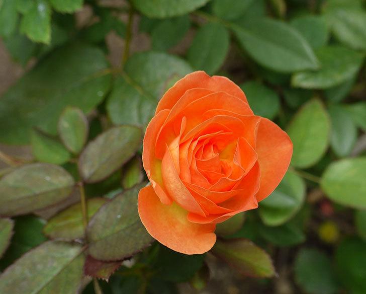 レディ・エマ・ハミルトン(木立バラ)の秋花が咲いた。2016年-4.jpg