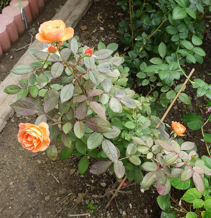 レディ・エマ・ハミルトン(木立バラ)の秋花が咲いた。2016年-5.jpg