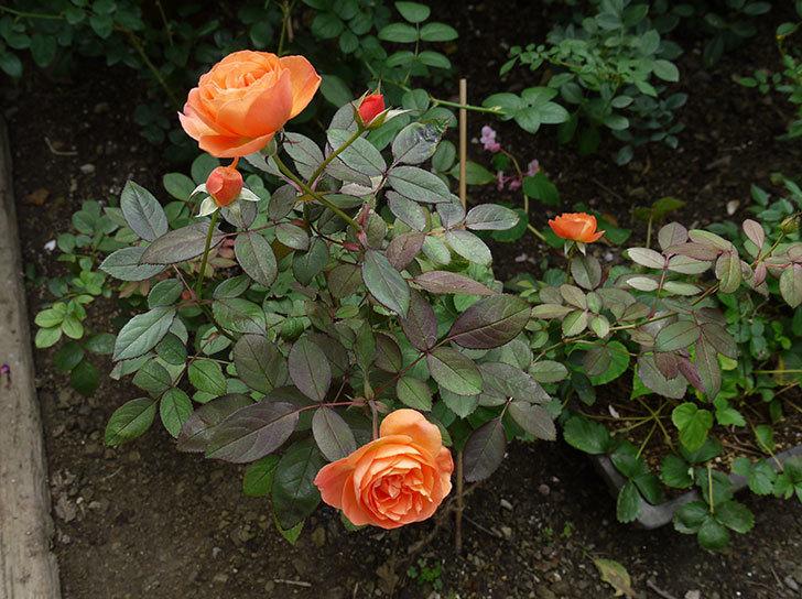 レディ・エマ・ハミルトン(木立バラ)の秋花が咲いた。2016年-6.jpg