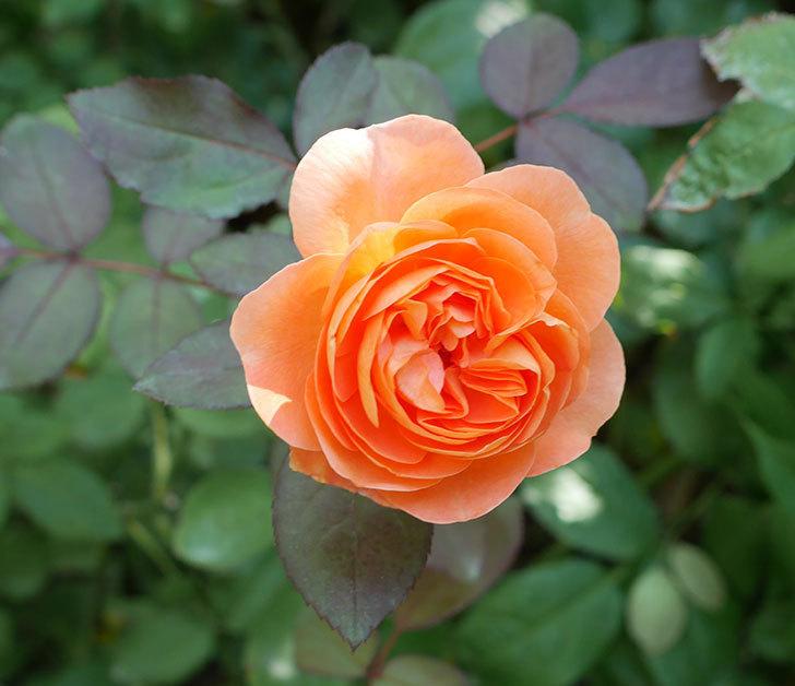レディ・エマ・ハミルトン(木立バラ)の秋花が咲いた。2017年-1.jpg