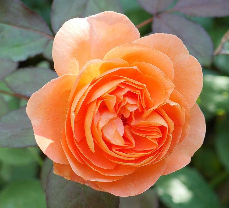 レディ・エマ・ハミルトン(木立バラ)の秋花が咲いた。2017年-2.jpg