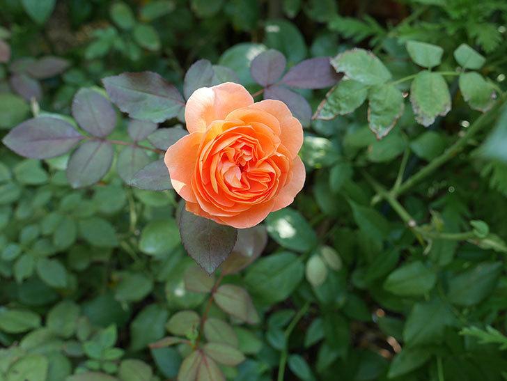 レディ・エマ・ハミルトン(木立バラ)の秋花が咲いた。2017年-3.jpg