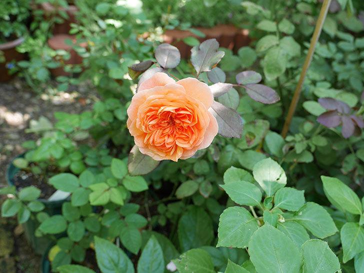 レディ・エマ・ハミルトン(木立バラ)の秋花が咲いた。2017年-5.jpg