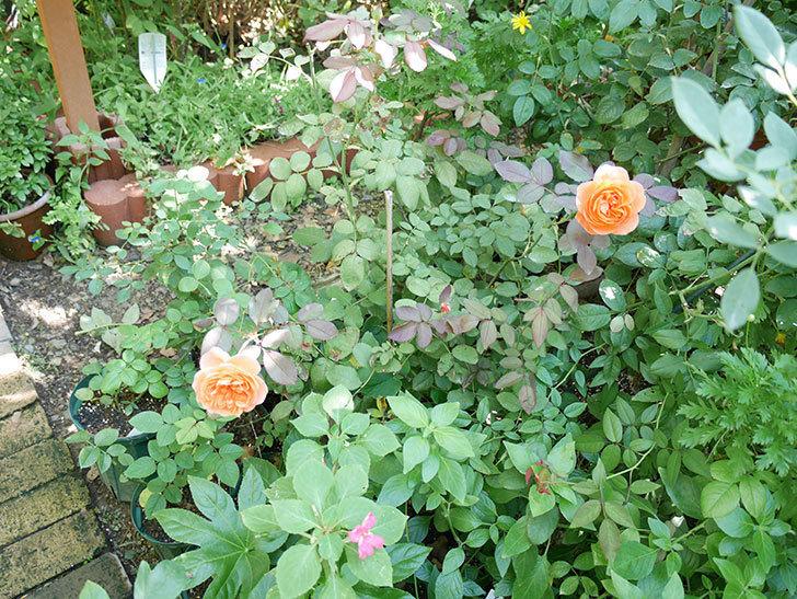 レディ・エマ・ハミルトン(木立バラ)の秋花が咲いた。2017年-6.jpg